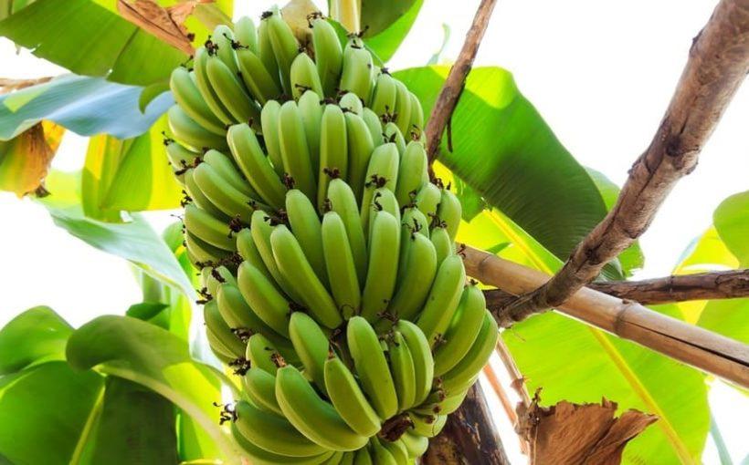 Var och hur odlas bananer?