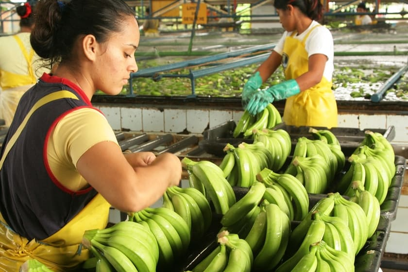 Rainforest Alliance ställer höga krav på hur bananer odlas.